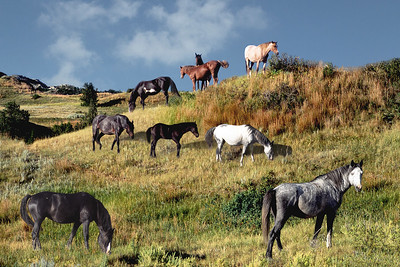 Wild horses in T. Roosevelt National Park ND