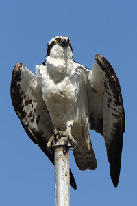 Male Osprey Portrait
