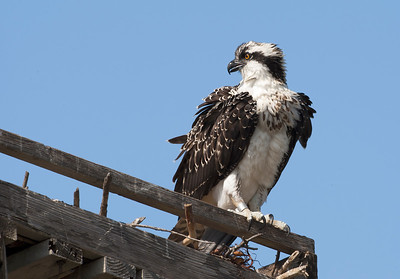 Juvenile Osprey in Nest
