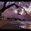 Cherry Blossoms at Sunset