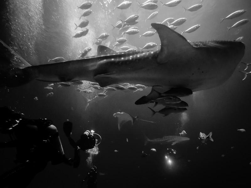 Whale shark and friends, Georgia Aquarium