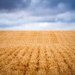 Endless Wheat