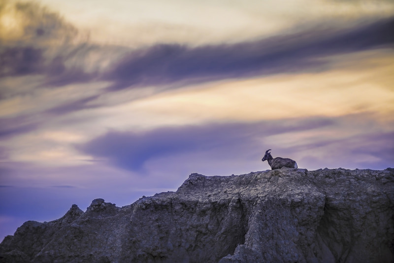 Solitary Bighorn Sunset
