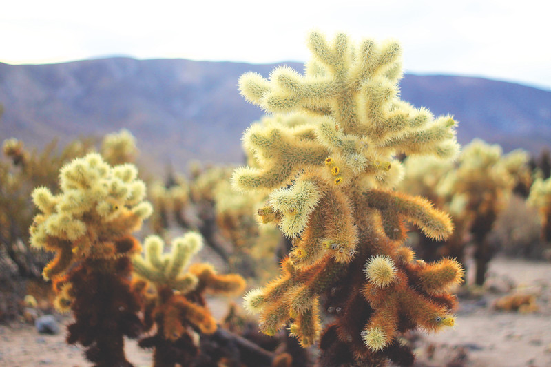 Cholla Cactus Garden. January 2018