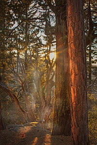 Dawn, Northern California Forest.