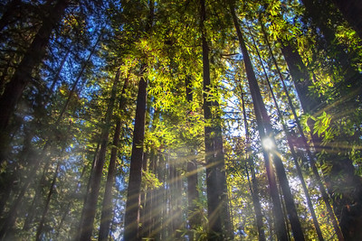 Sun Rays, Northern California Forest