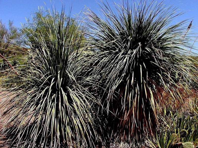 AZ-Superior-Boyce Thompson Arboretum-2002-04-27-0016