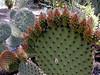 AZ-Superior-Boyce Thompson Arboretum-2002-04-27-0011-Beavertail Cactus