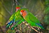 Lovebirds, Peach-Faced
