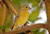 Rick's POTD - Lesser Goldfinch