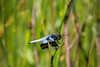 Whitetail Skimmer Dragonfly [Plathemis Lydia], Male