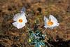 Poppy, White Prickly