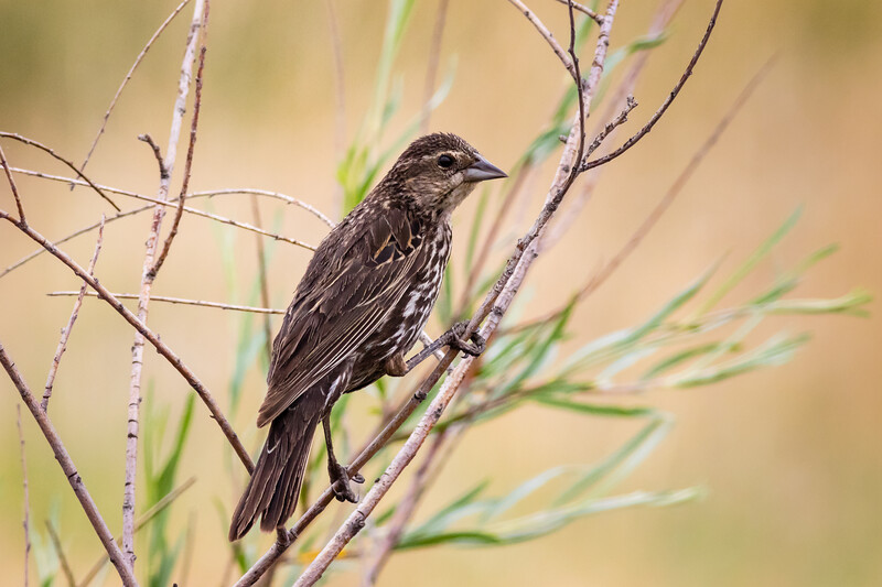 Red-Winged Blackbird - Female