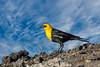 Yellow-Headed Blackbird, Male