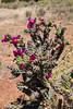 Cactus-Cane Cholla