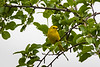 "Alphabet Challenge – ""Y"" is the for Yellow Warbler"