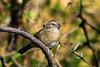 Botteri's Sparrow