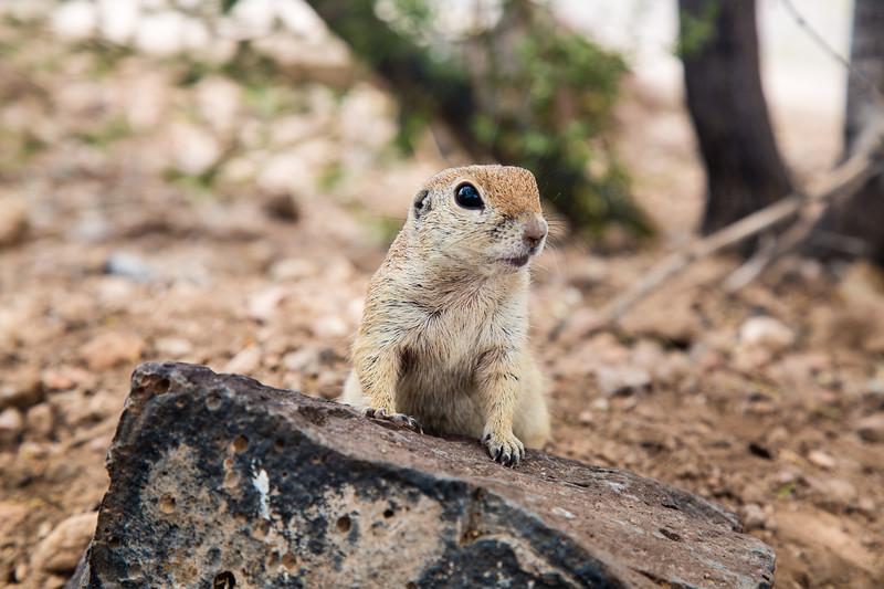 Round-Tailed Ground Squirrel