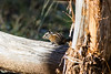 Jacob Lake, AZ - Chipmunk