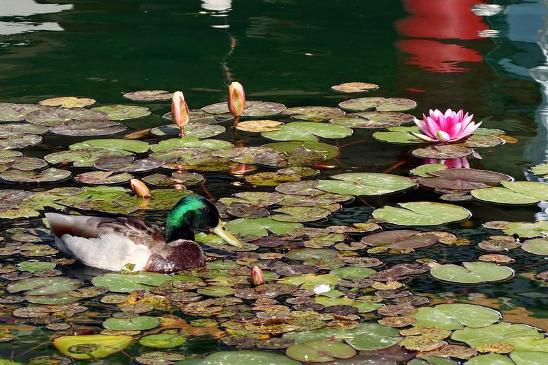 AZ-Phoenix-Chinese Cultural Center-Mallard Duck-2007-04-10-0003