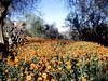 AZ-Phoenix-South Mountain Park-1971-06-15-S0001-Desert Marigold