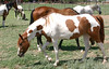 AZ-Phoenix-Steve's Horses-2006-07-16-0005