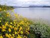 AZ-Lake Pleasant-Brittlebush-2005-02-21-0001
