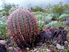 AZ-Lake Pleasant-Fhishhook Cactus-2005-02-21-0001