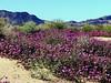 AZ-Yuma-2002-03-23-0008-Desert Sand Verbena