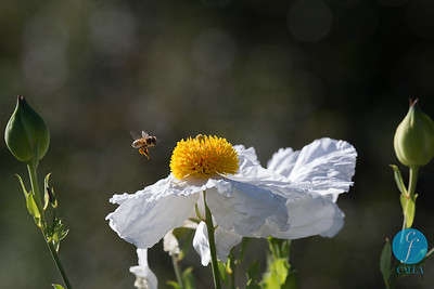 2015-05-01 - Poppy and Bees