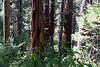 CA-Arnold-Calavares Big Tree State Park-2005-08-21-0006