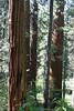 V-CA-Arnold-Calavares Big Tree State Park-2005-08-21-0003