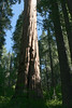 V-CA-Arnold-Calavares Big Tree State Park-2005-08-21-0005