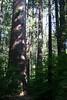 V-CA-Arnold-Calavares Big Tree State Park-2005-08-21-0001