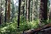CA-Arnold-Calavares Big Tree State Park-2005-08-21-0003