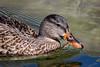 Mottled Duck in Gull Lake