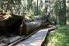 CA-Arnold-Calavares Big Tree State Park-2005-08-21-0012