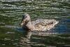 Mottled Duck in June Lake
