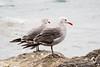 Common Western Gull