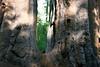 CA-Arnold-Calavares Big Tree State Park-2005-08-21-0008