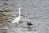 Great Egret and Common Western Gull