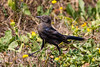 Great-Tailed Grackle, [Quiscalus Mexicanus] - Female