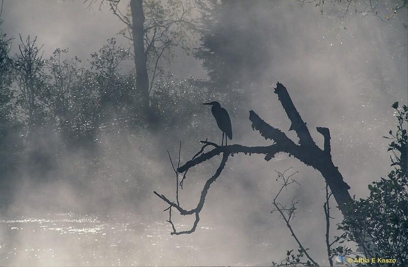 Great Blue Heron (Arden herodias)<br /> Sundridge, Ontario, Canada