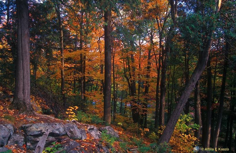 Deciduous Forest<br /> Pickerel Rv., Ontario, Canada