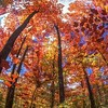 Maple Trees / Deciduous Forest<br /> Golden Valley, Ontario, Canada
