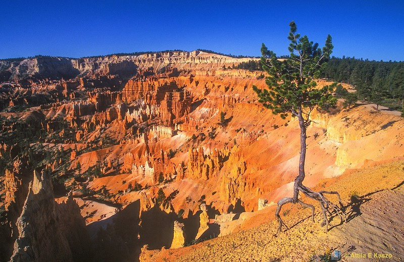 Spruce on the Edge<br /> Bryce Canyon NP, Utah, USA