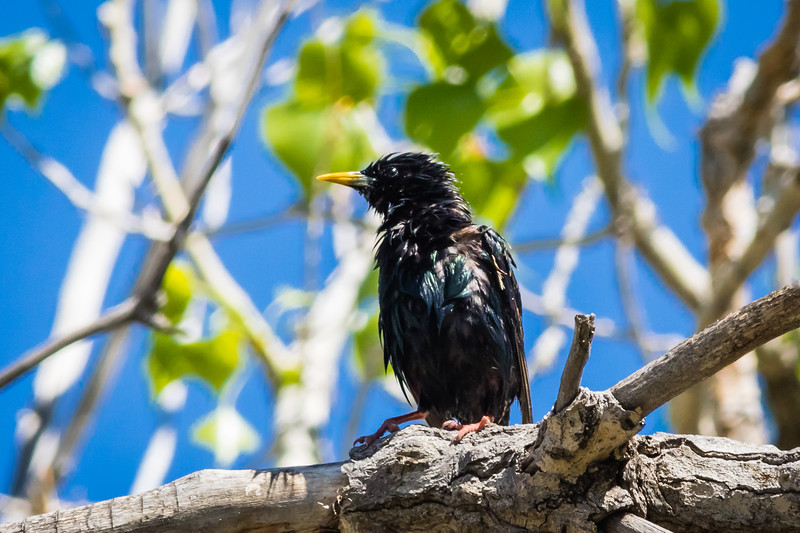 Common Starling or European Starling