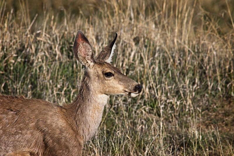 White-Tailed Deer, Doe