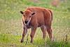 American Bison Calf