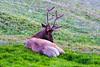Elk at Iceberg Pass